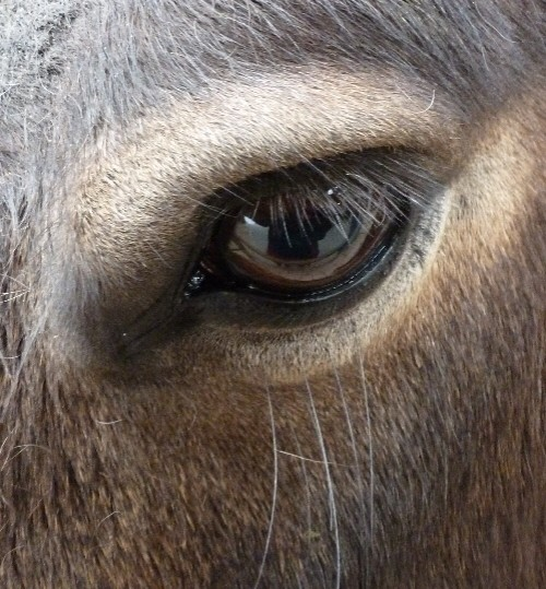 exmoor_pony_eye