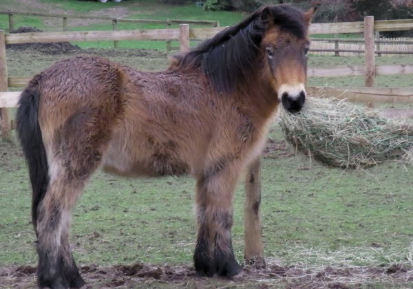 exmoor_pony_winter_coat