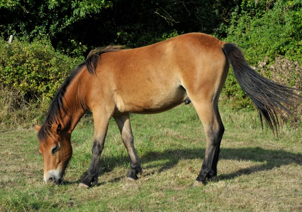 exmoor_pony_summer_coat